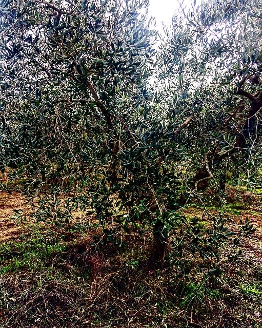 Olio-Biologico- Toscano-2019